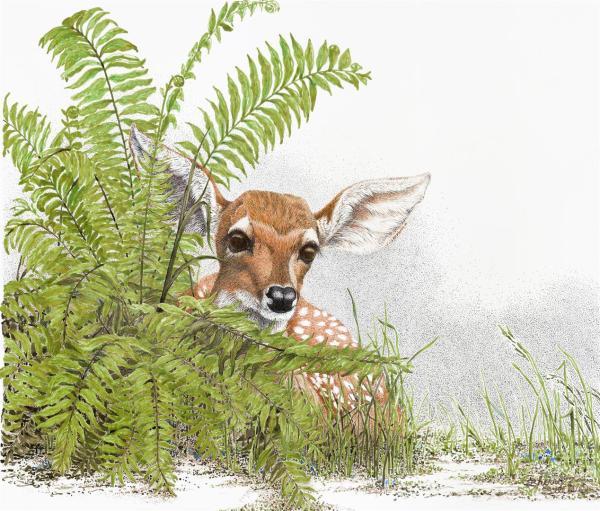 Sherry Steele Artwork - A Peek at Innocence   Fawn Deer