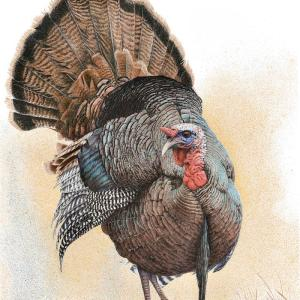 Sherry Steele Artwork - Something To Strut About | Turkey