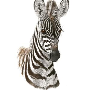 Sherry Steele Artwork - Wide eyed wonder | Zebra