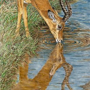 Sherry Steele Artwork Impala Beside Still Water