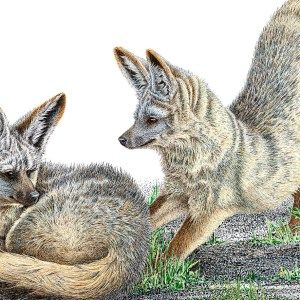 Bat Eared Foxes_Artwork by Sherry Steele