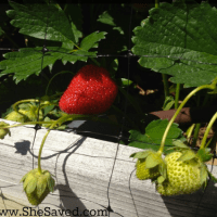 Garden Tip: How to Keep the Birds Out of Your Strawberry Patch