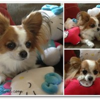 PetSmart Hello Kitty Product Line Review
