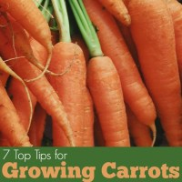 7 Tips for Growing Carrots