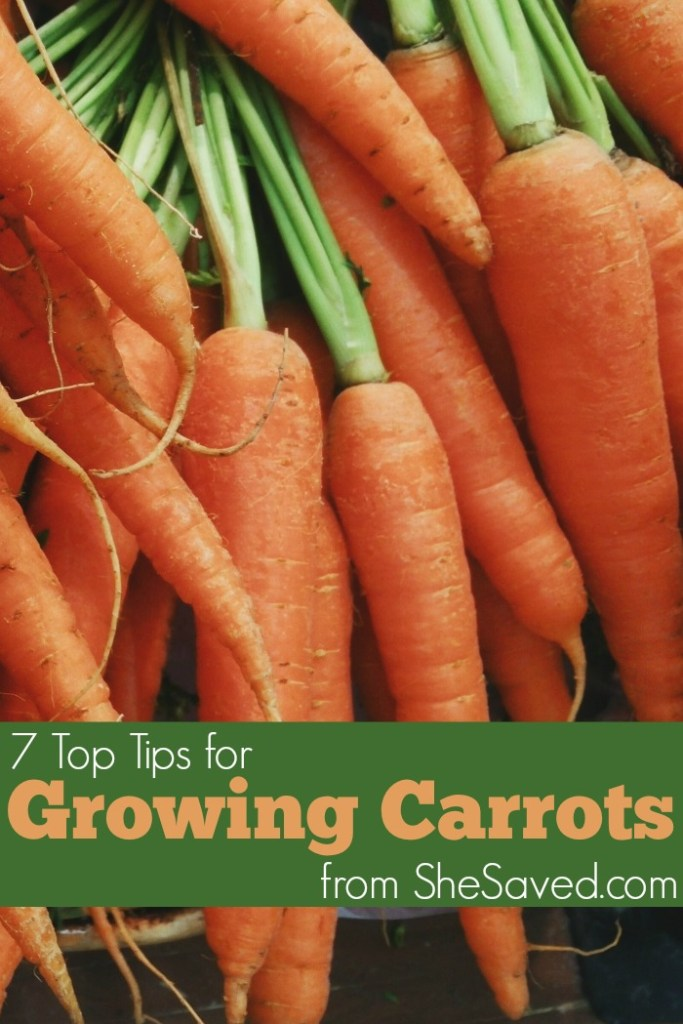 If you are looking for a garden plant that is easy to grow and fun to harvest, check out my 7 tips for growing carrots!