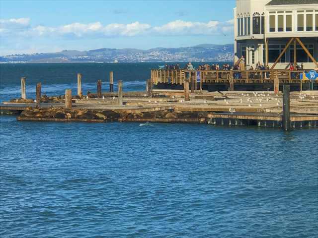 < Sea lions at Pier 39 >