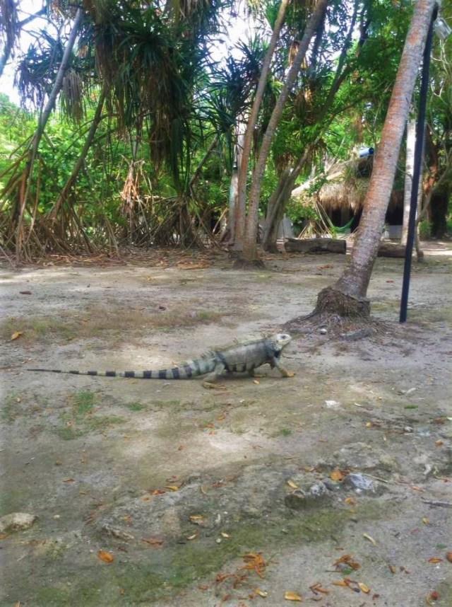 The iguana on Isla Grande