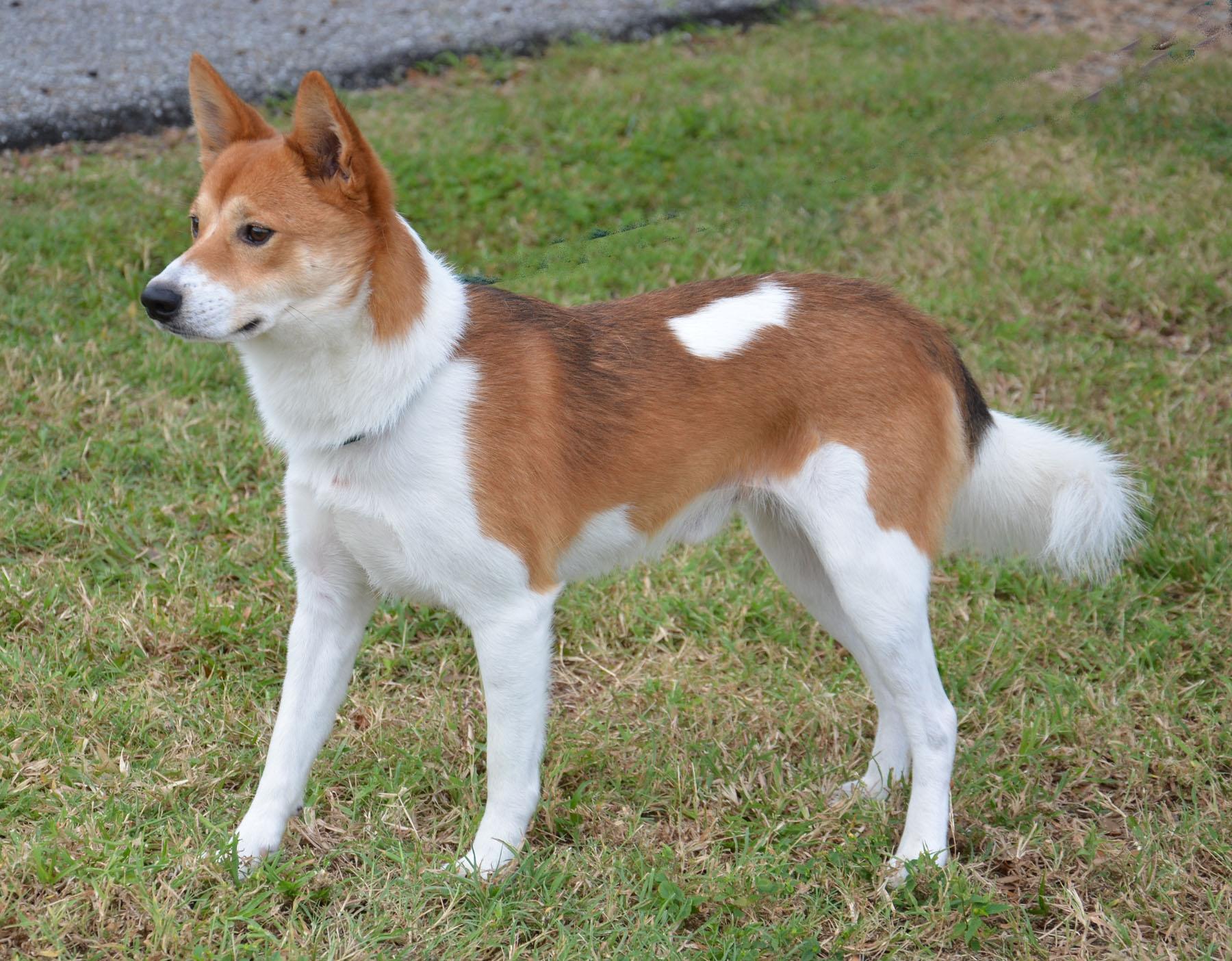 Shiba Inu/Husky Mix Dogs, but mostly just huskies