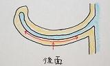 立ち耳(耳介変形) 神奈川県橫浜市 美容外科 しばた形成外科・內科