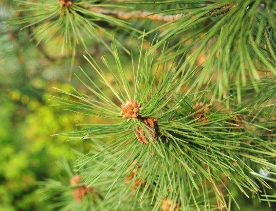 Pine-needles-537x412