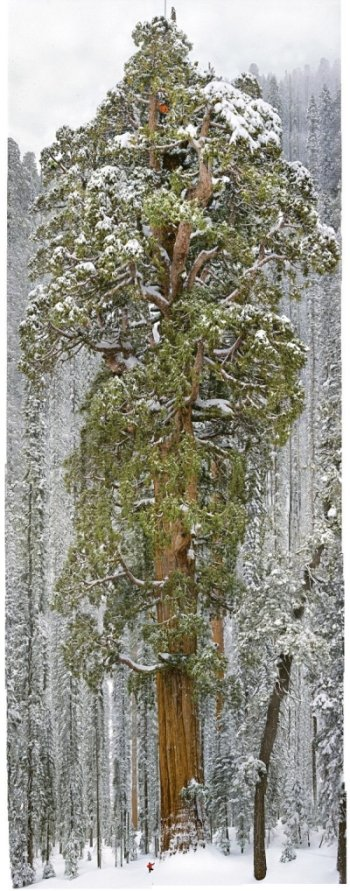 A team of scientists measure a giant sequoia, called the President.