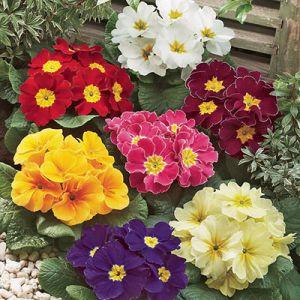 flower_primroses