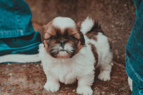 Potty Train Shih Tzu Puppy