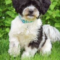 Oliver the Shih Tzu Embarks on Operation Smile