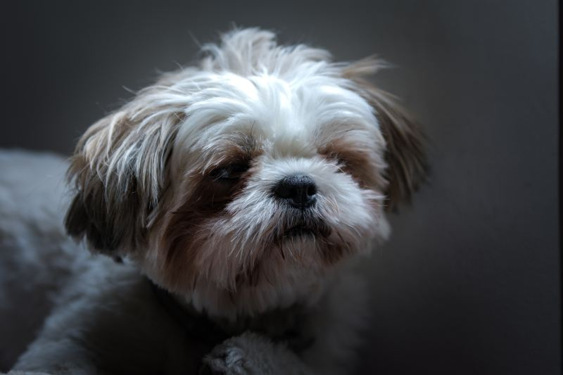 Fireworks - Preparing and Comforting Your Shih Tzu