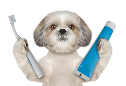 shih tzu dental