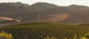 organic-carneros-vineyard_gallery2