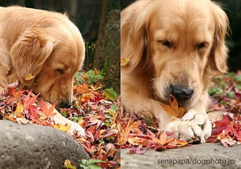 落ち葉のにおいを一心不乱に嗅ぐアンディ