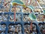 植え付け後約3週間 シクラメン 神奈川 寒川 谷澤園芸