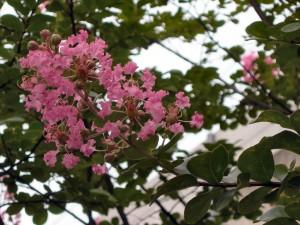 近所のサルスベリの花