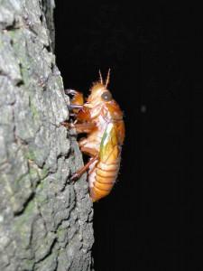 この日出会ったセミの幼虫