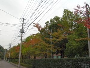 福島市内の木々も、だんだん色づいてきました。市街地の例年の見頃は 11 月中旬ぐらいです