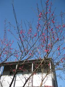 梅が咲きはじめました。