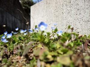 近所で咲いていたオオイヌノフグリ。花の寿命は一日しかありません。手前の花を撮影してやろうと思ったのですが、どうにもカメラが遠くの花にピントを合わせたがって仕方がありません。でも、これはこれでいいかな。