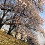 桜並木にて。人間とはスケールが違いますね。