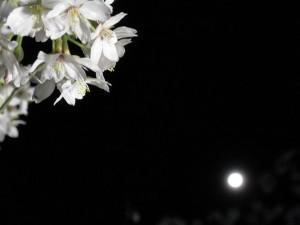 夜桜と満月。2009-04-10 信夫山公園にて。