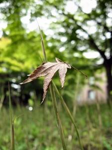 去年の秋の紅葉が地面に積もり、それを今年の春に生えてきた芽が突き刺して、こういう光景が生まれたのでしょうか。