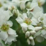 そばの花。F200EXR にマクロレンズを装着して撮影しました。よく見ると桜の花に似ていますね。