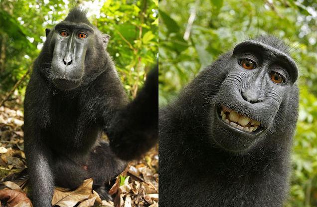 macaque-selfie