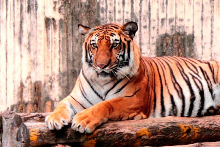 Wildsense Tigers is an app designed to keep track of the wild tiger population.