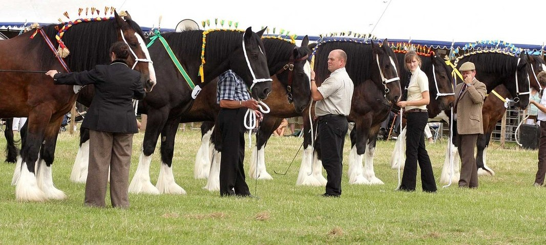 Image result for Abergavenny Shire Horse Show