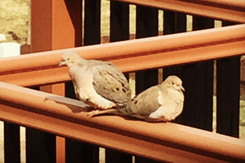 Doves on the Deck