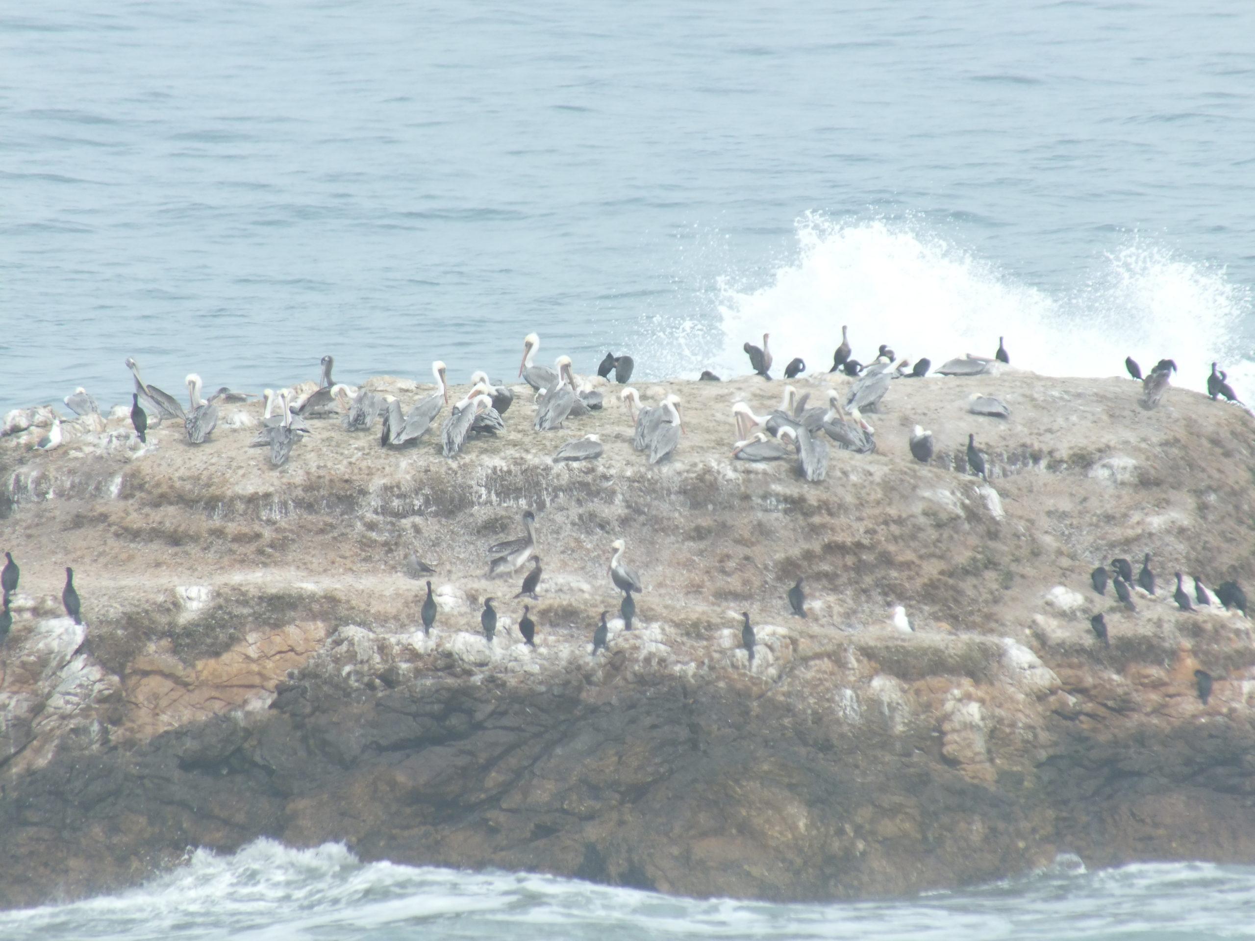 כביש 1 בקליפורניה - עופות מים