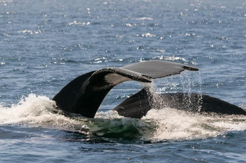 צפייה בלווייתנים - כביש 1 בקליפורניה
