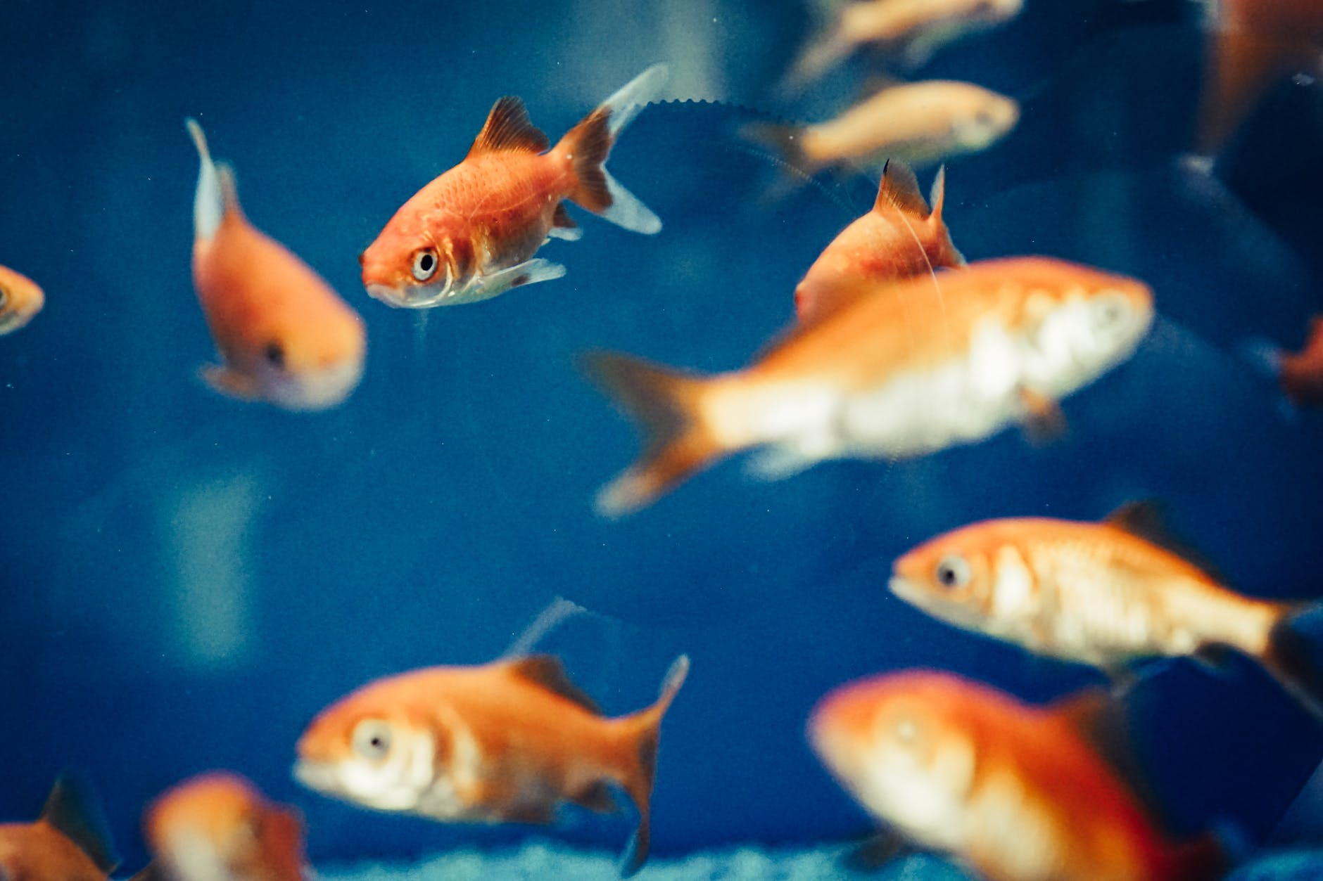 selective focus photo of gold fishes