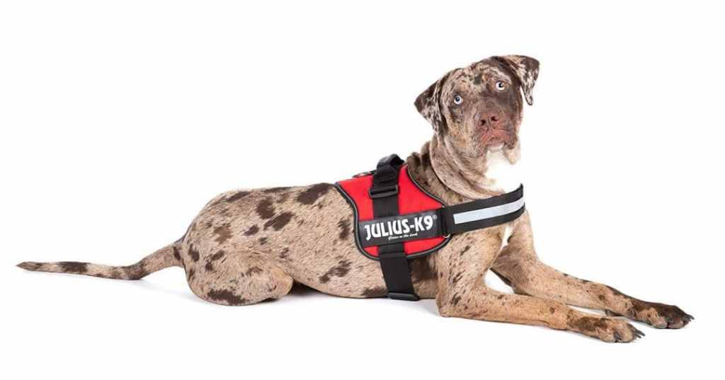 Dog With Harness