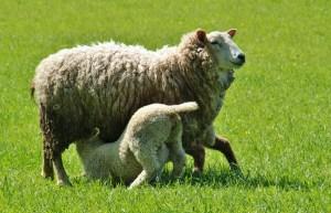 sheep-338225_1280