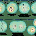Mitosis shmoop biology