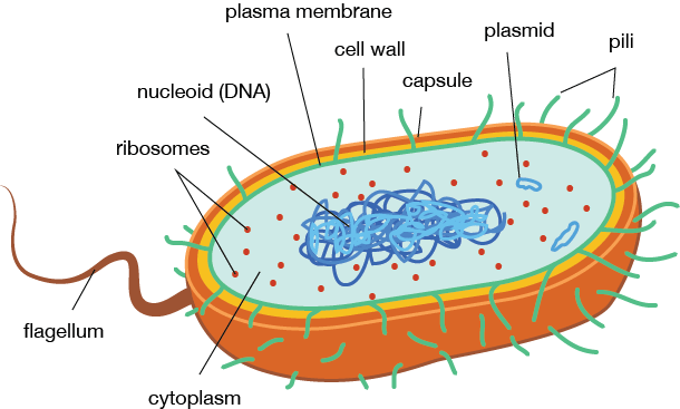 microbiology prokaryotic cell diagram labeled wiring 2004 dodge ram 2500 biology structure and function shmoop