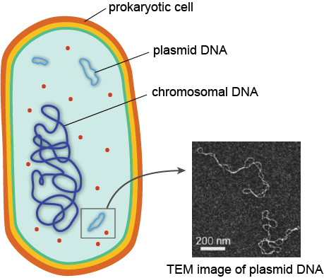 microbiology prokaryotic cell diagram labeled 1986 porsche 944 wiring biology structure and function shmoop genetic material
