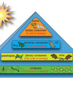 In addition to energy pyramid diagrams ecosystem ecologists sometimes depict the relationship between trophic groups  linear way with arrows pointing also biology flow shmoop rh