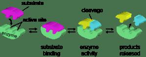 Biology Enzymes in Detail  Shmoop Biology