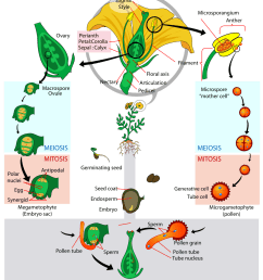 if you can ignore the flower for the moment you ll notice that on the sides of the diagram a spore is just developing into a gametophyte  [ 1000 x 1150 Pixel ]