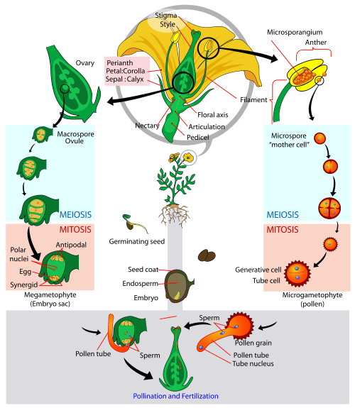 small resolution of if you can ignore the flower for the moment you ll notice that on the sides of the diagram a spore is just developing into a gametophyte