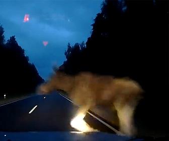 【動画】夜道を走る車に突然巨大なヘラジカが突っ込んで来る衝撃映像