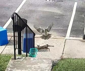 【動物】鷹がウサギに襲いかかりウサギが必死に逃げる衝撃映像